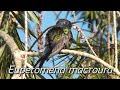 Beija-flor-tesoura (Eupetomena macroura)
