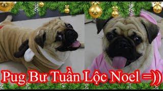 Chó Pug Tuần Lộc Kéo Xe Cho Ông Già Noel Siêu Cute =)) Pug Bư Đón Giáng Sinh ^^! ⏩ Pugk Vlog