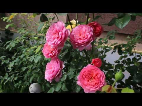 Роза Принцеса Александра