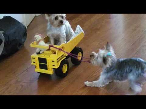 Fun with our Yorkies part 2