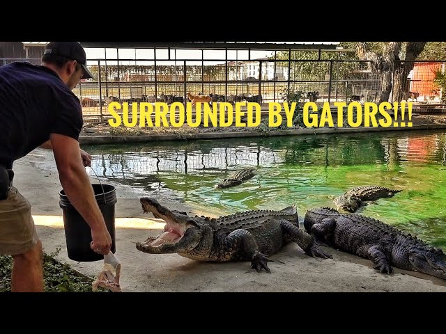 I went into an Alligator Pit with 9 hungry adult gators...