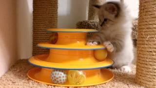 Невский маскарадный котенок 1,5 месяца