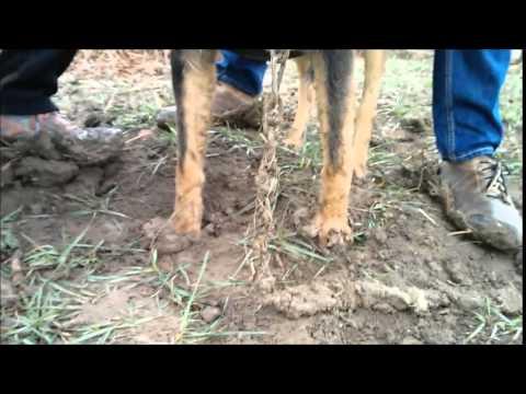 Pies miał wrośnięty w szyję sznurek