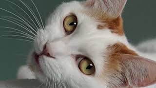 Japanese Bobtail  Cat Breed  Pet Friend