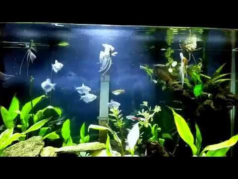 African Butterfly Fish Eating 2 Crickets.