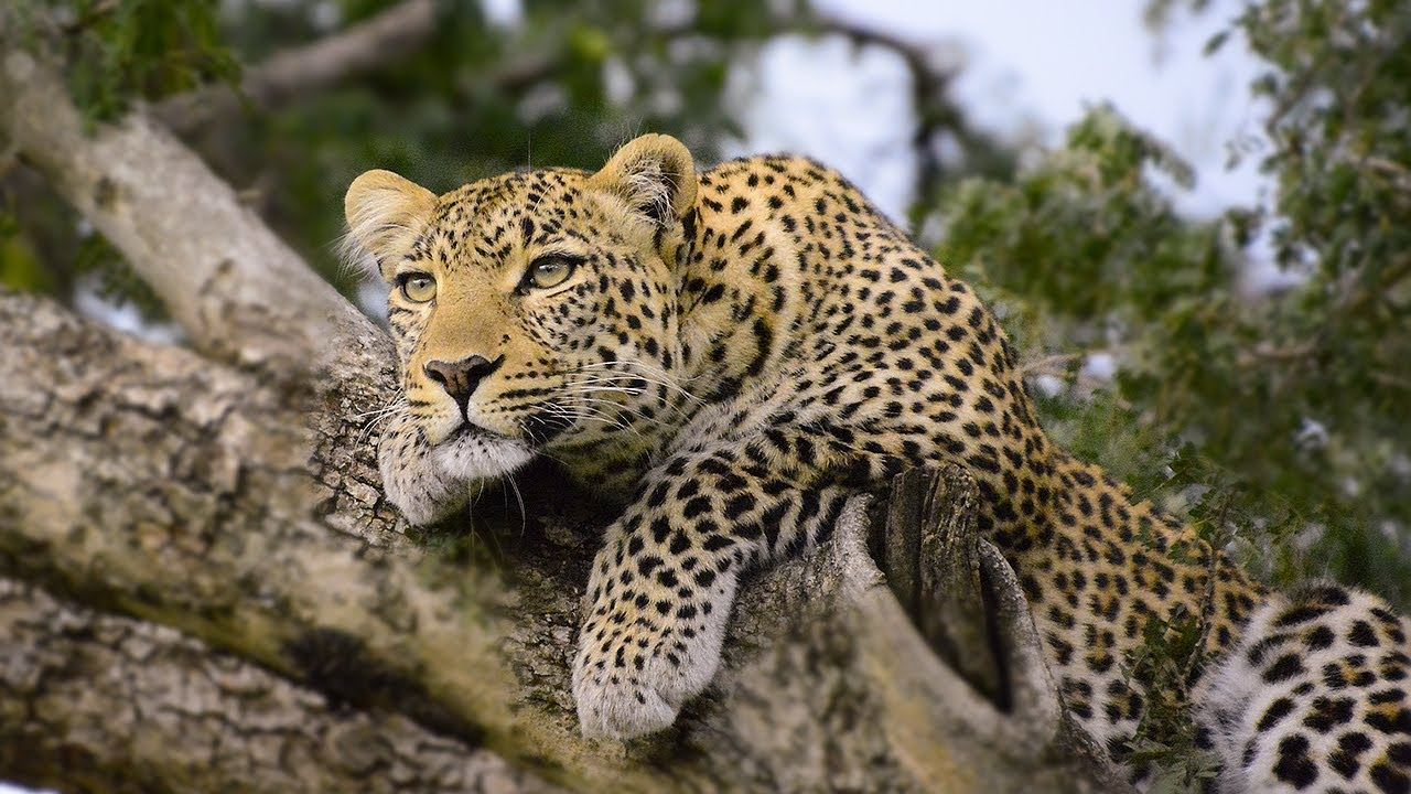 Pbs Lion African Standoff Animal Attacks Love Nature Youtube Leopard Vs Lion African Standoff Animal Attacks Love Nature