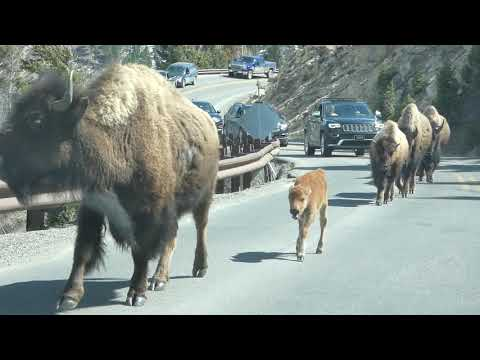 Bison Jams in Yellowstone National Park