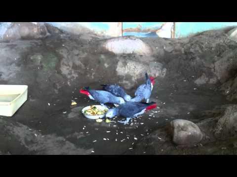 Жако или серый попугай   Psittacus erithacus