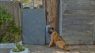 Poor Dog Stares Gate for Days after Being Kicked Out of the House