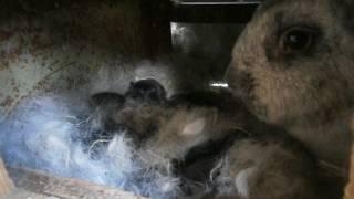 кролики полтавское серебро )))(, 2016-05-17T17:40:41.000Z)