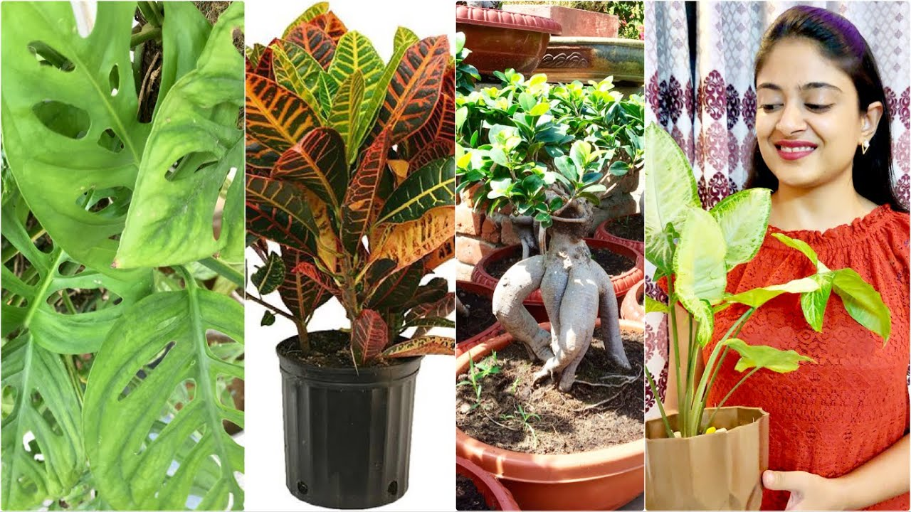 CUTTING PROPAGATION, CROTON,FICUS,MONSTERA,SYNGONIUM,FLOWER PLANTS, BEST  ROOTING HORMONE FOR TREES