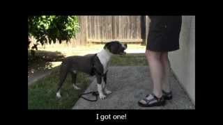 This dog won't sit.  Is he being stubborn?