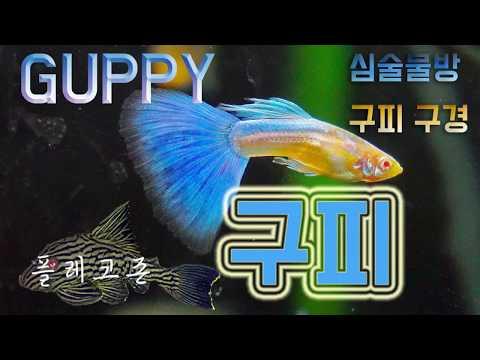 [GUPPY]구피 알아보자! 2편-심술물방 탐방기#2(Va
