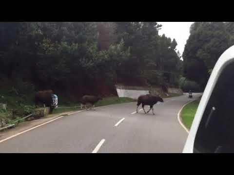Wild bison in Nilgiri mountains in India