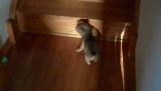 Puppy learns to climbs stairs Thumbnail