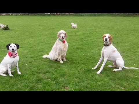 English Setter Otis, Pointer Gizmo & Ab Fab Phoebe meandering.