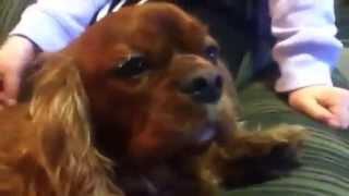 Jasper The Brown Cavalier King Charles Spaniel And Rosie The Black Cavoodle (half Poodle Half Cavi)