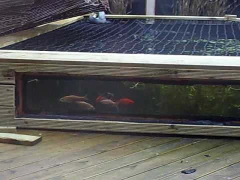 5ft pond viewing window youtube for Koi pond window