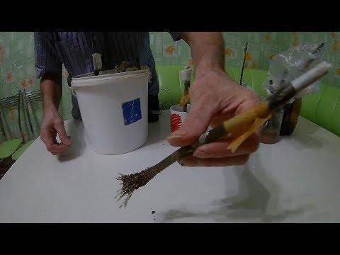 Проращивание черенков винограда в домашних условиях.Как вырастить виноград из черенка
