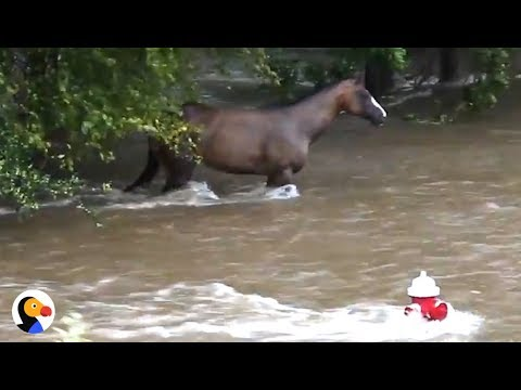 Download Youtube: Incredible Hurricane Harvey Horse Rescue | The Dodo