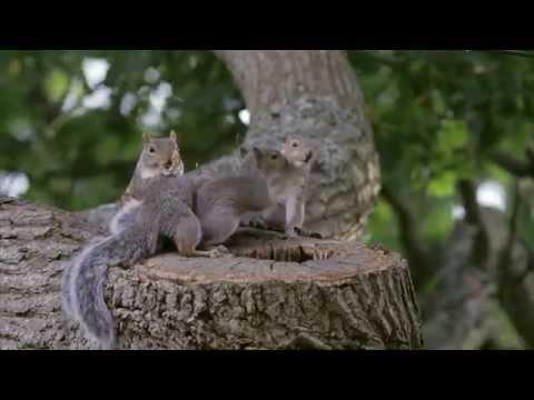 Grey Gray Squirrel baby babies causing mischief and annoying Mum - Sciurus carolinensis