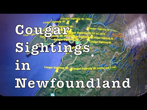Cougar Sightings Update 35 And Growing Stephenville Newfoundland