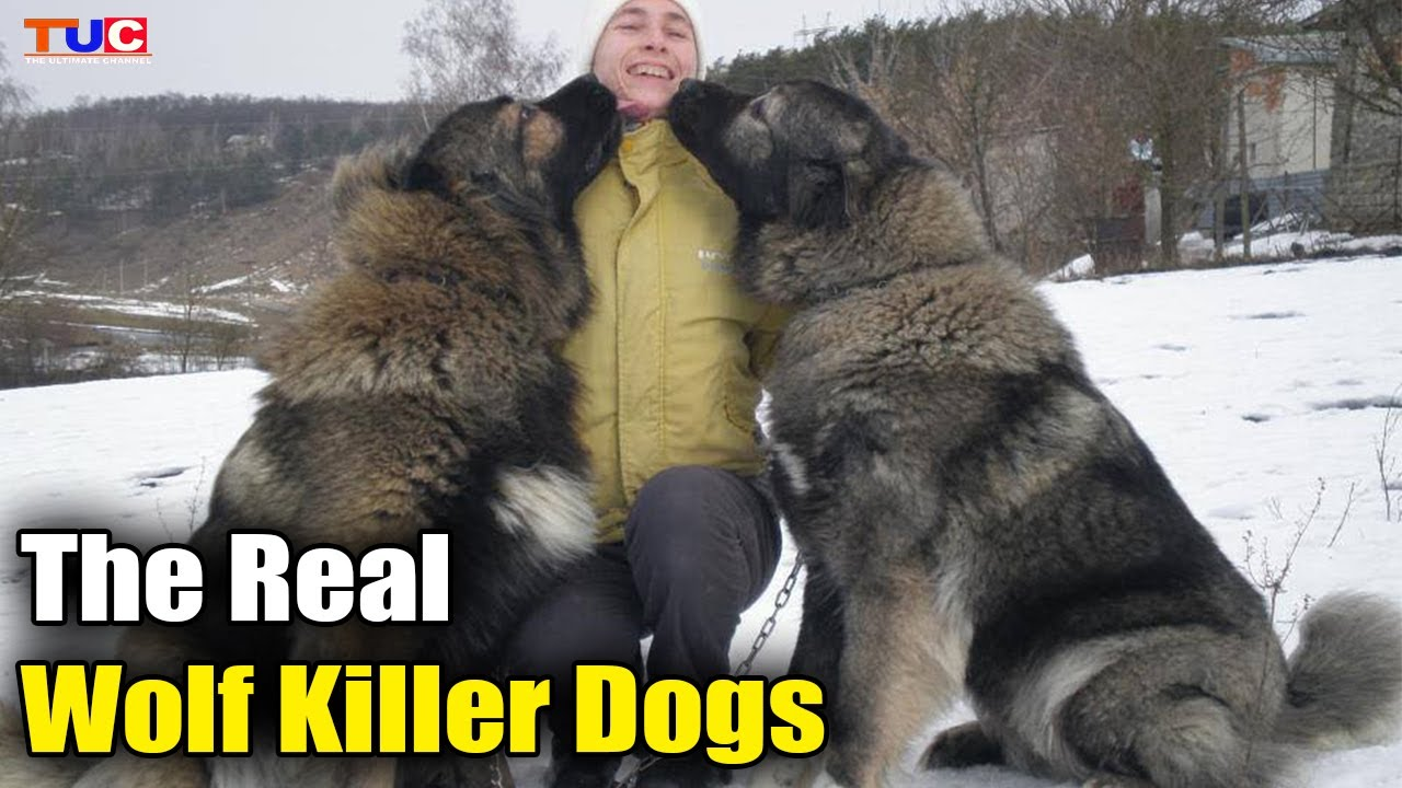 5 Unknown Facts About Caucasian Shepherd Dog : TUC