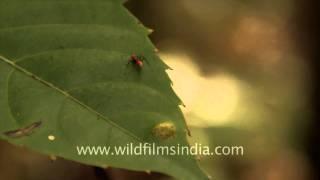 Bee, Leech and Ant - Timor