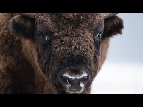 Wex Pro | Luke Massey: European Bison