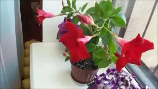 комнатные цветы дипладения