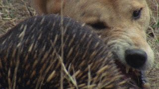 Meet the Echidna, an Incredible, Fire-Proof Spiny Anteater