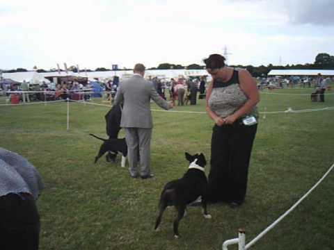 bournemouth-championship-show-2013-bull-terrier-dog-challenge