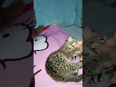 Full Download] Kucing Hutan Macan Rengreng