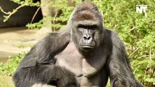 Silverback Gorilla Dies Tragically After Child Enters His Zoo Enclosure