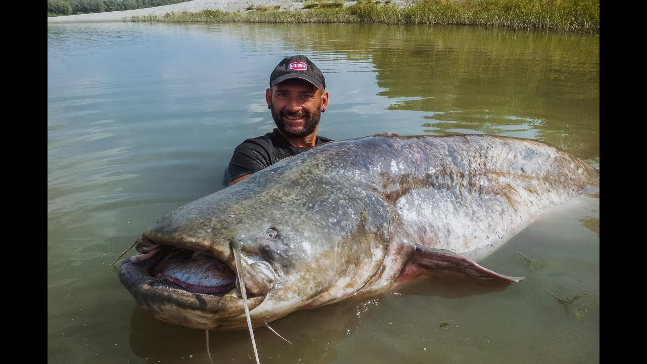 CATFISH RECORD 265 LBS CAUGHT ON CAMERA - HD by CATFISHING ... - photo#8