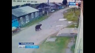 События недели: медведи угрожают людям