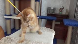Кошка мейн - кун Unucum Yolanda. Возраст - 2 года