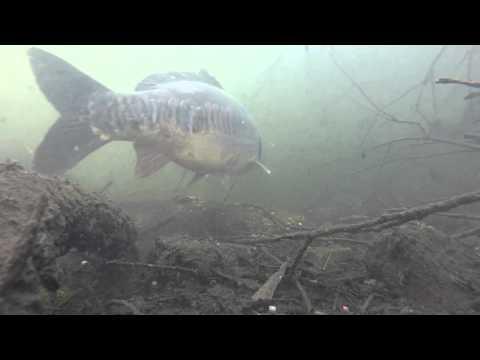 Carp Fishing. Carp feeding underwater