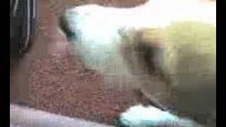 licking dog