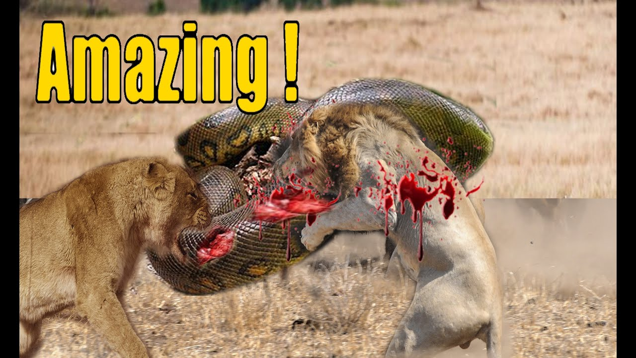 Download Top 10 Craziest Animal Fights Caught On Camera Part 2