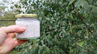 В этом вишня и слива очень нуждаются осенью. Помогите косточковым плодоносить лучше в следующем году