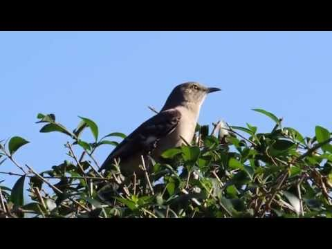 Northern Mockingbird (Mimus polyglottos) Singing Calling Palm Beach County Florida