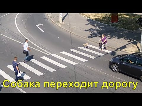 Собака переходит дорогу на пешеходном переходе.
