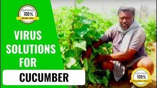 Cucumber plant disease and treatment : Muniappa