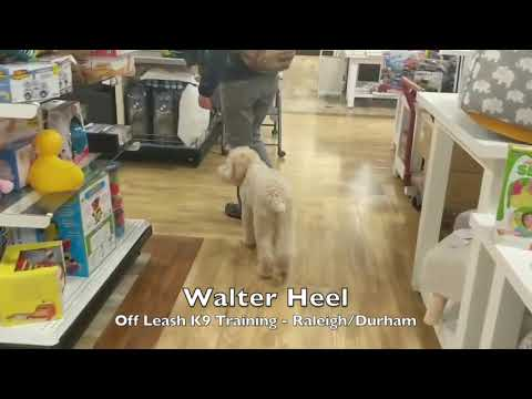 "5.5mo Wheaten Terrier ""Walter"" Before and After - Dog Training Raleigh Durham"