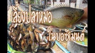 เลี้ยงปลาหมอในบ่อซีเมนต์EP2