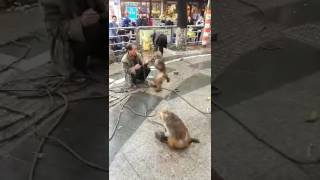Crazy Monkey and Man Fight | Monkey Slaps Man | FUNNY VIDEO 2016