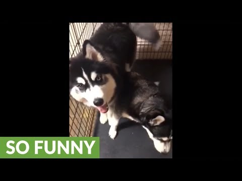 Guilty husky tries to blame other dog for mess