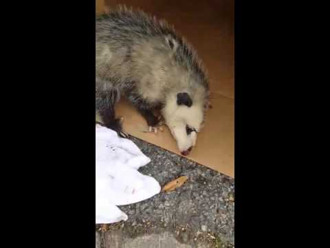 Angel the Opossum rescued