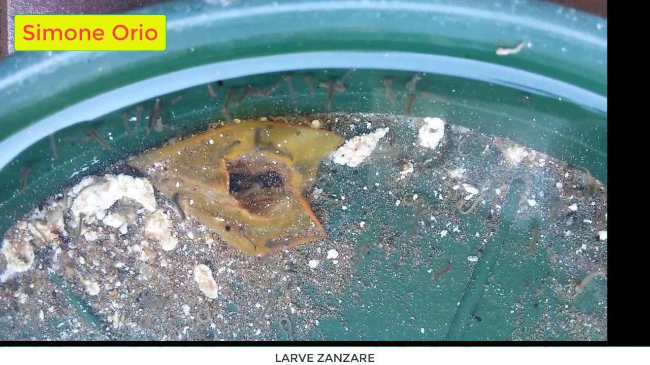 Larve zanzare mosquito larvae youtube for Larve zanzare